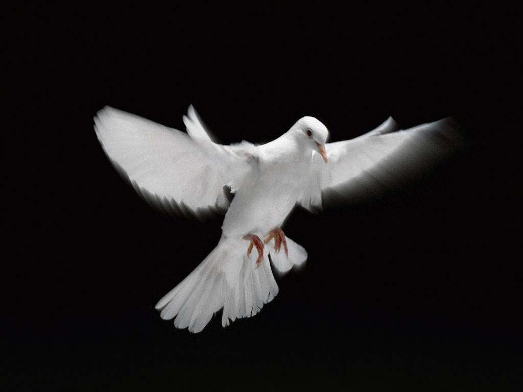 http://www.thebirdwhisperer.org/Dove.jpg